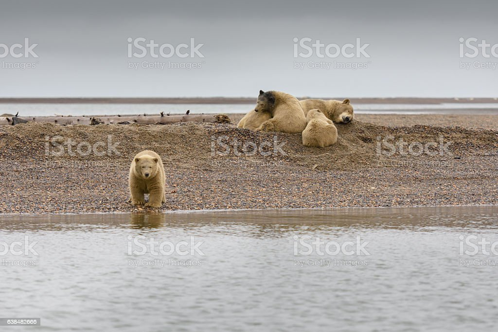 Polar Bear and Three Cubs Resting on Land in ANWR stock photo