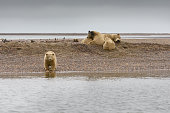 Polar Bear and Three Cubs Resting on Land in ANWR