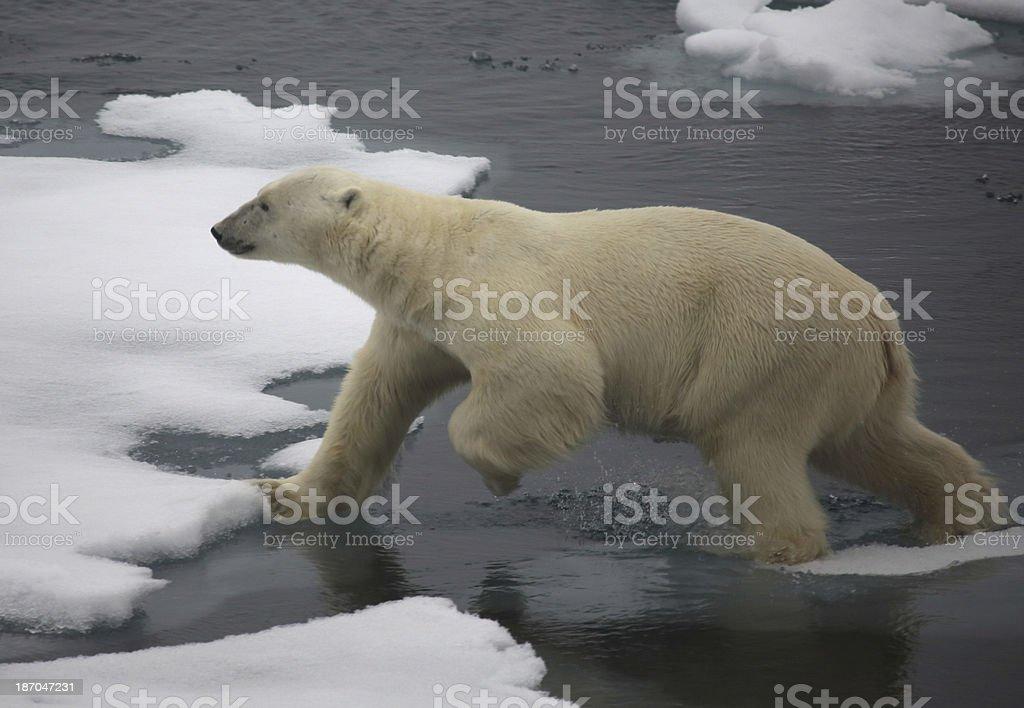 Polar Bear Arctic Circle Svalbard Norway stock photo