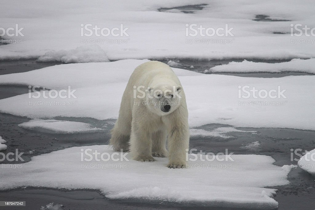 Polar Bear Arctic Circle Svalbard Norway stock photo