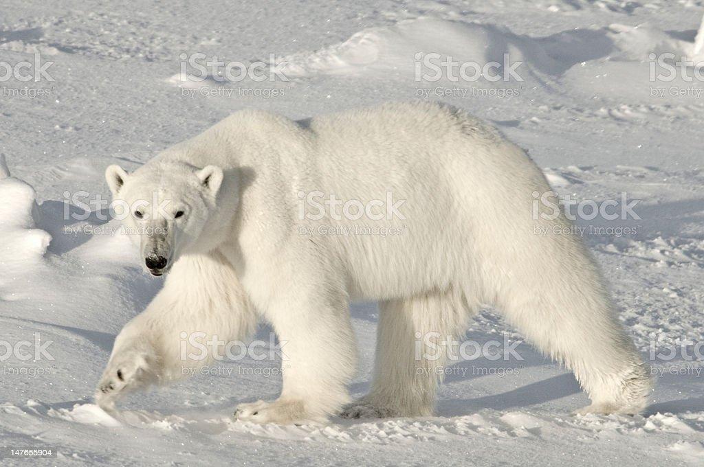 Polar Bear, Arctic stock photo