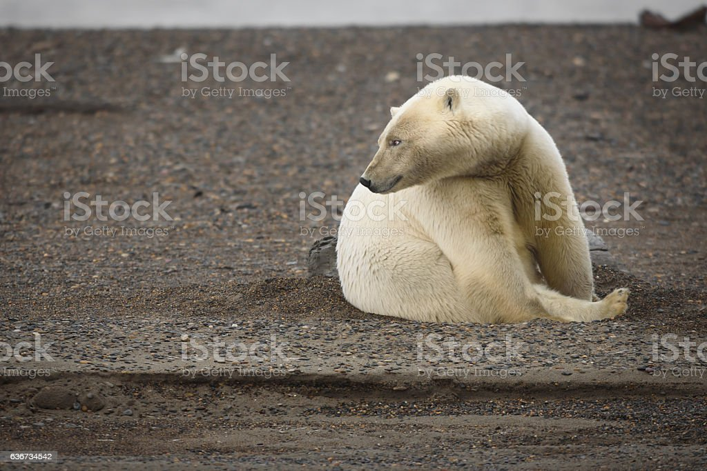 Polar Bear Close Up on Land Looking into the Distance stock photo