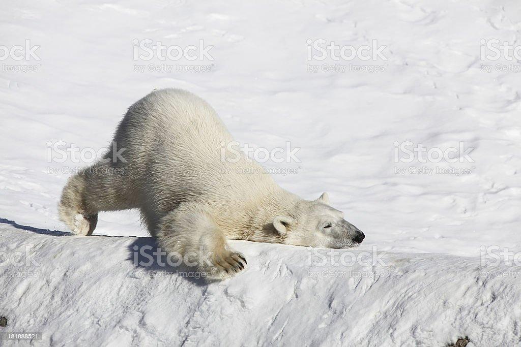 Polar bear close up stock photo