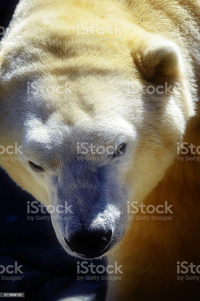 Polar Bear Close-up stock photo