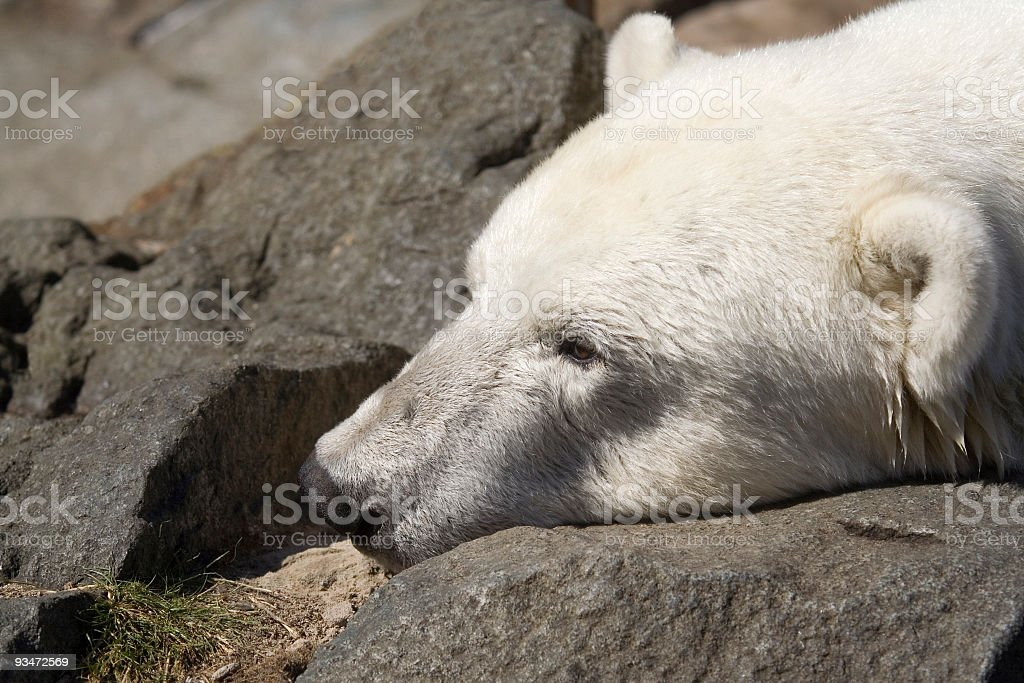 Polar Bear - close-up stock photo