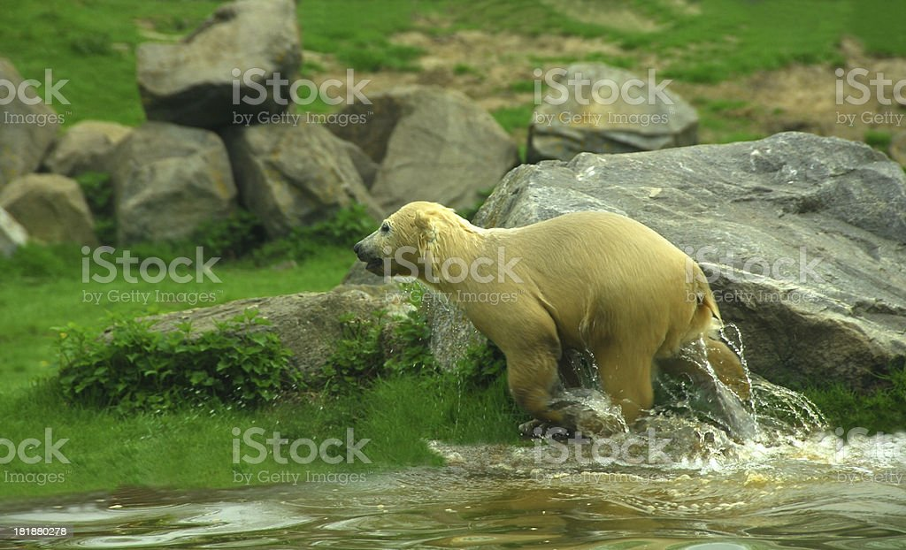 Polar bear Cub coming out of the water royalty-free stock photo