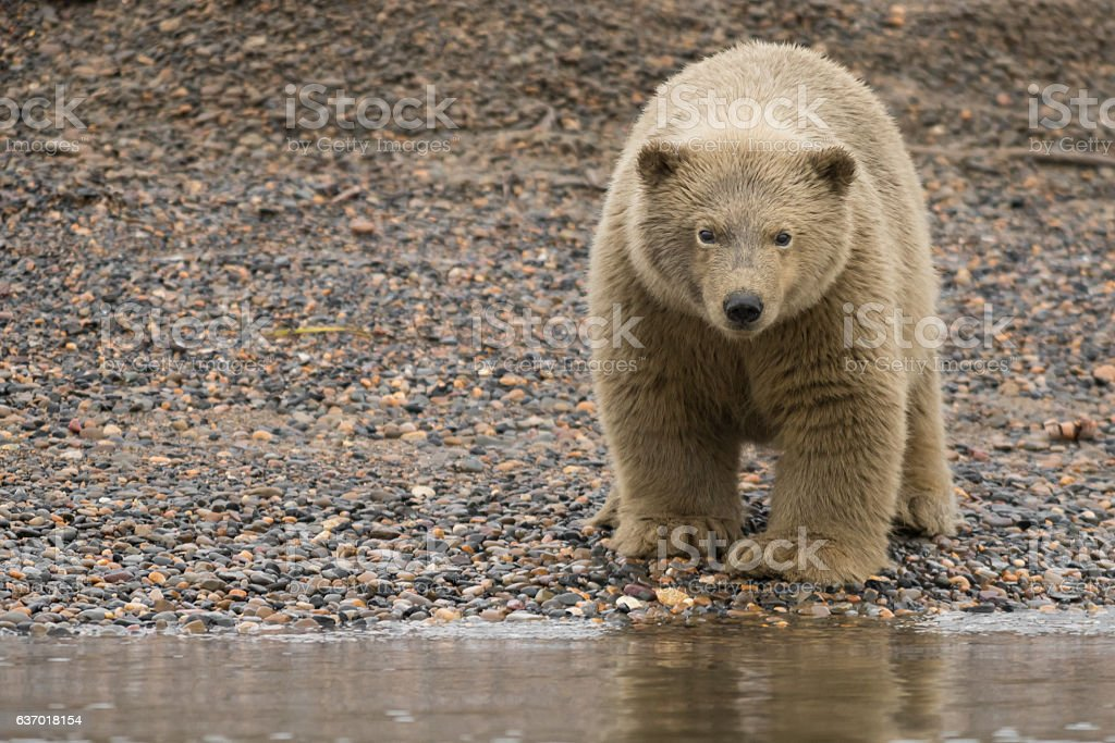 Polar Bear Cub Covered in Whale Oil and Sand stock photo