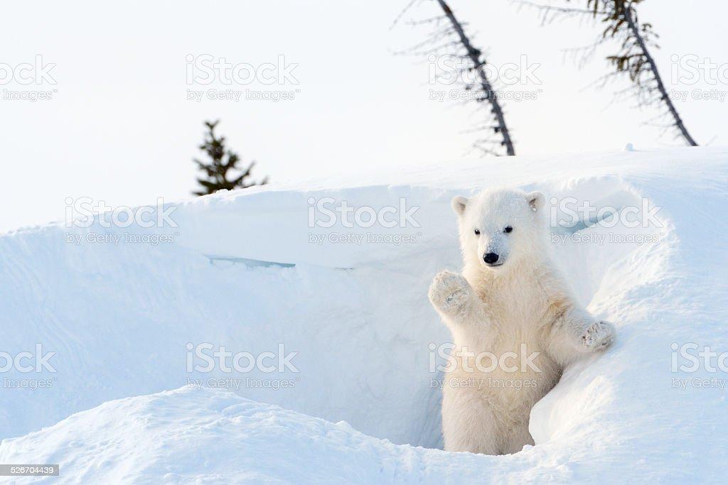 Polar bear (Ursus maritimus) cub stock photo