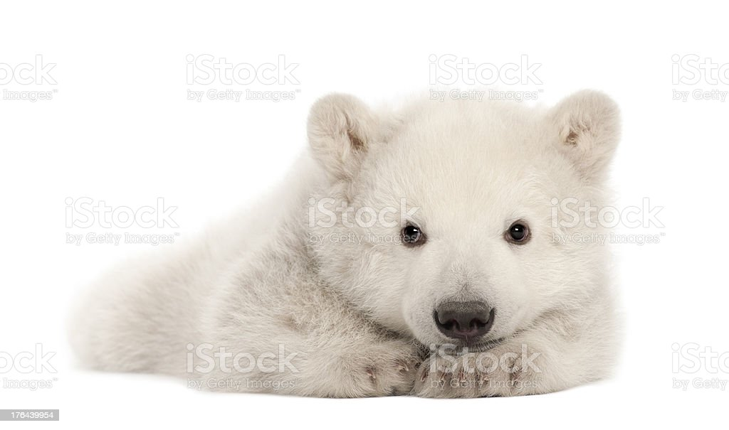 Polar bear cub, Ursus maritimus, 3 months old, lying stock photo