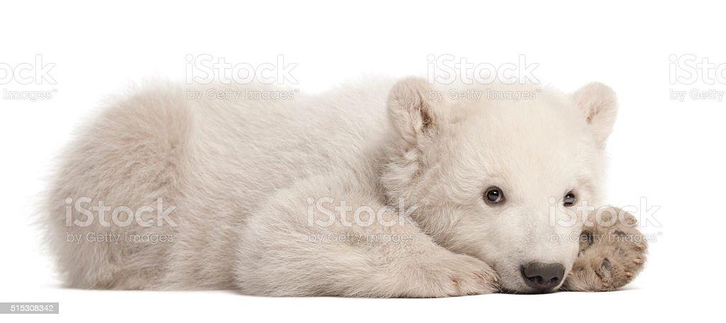 Polar bear cub, Ursus maritimus, 3 months old, lying stock photo