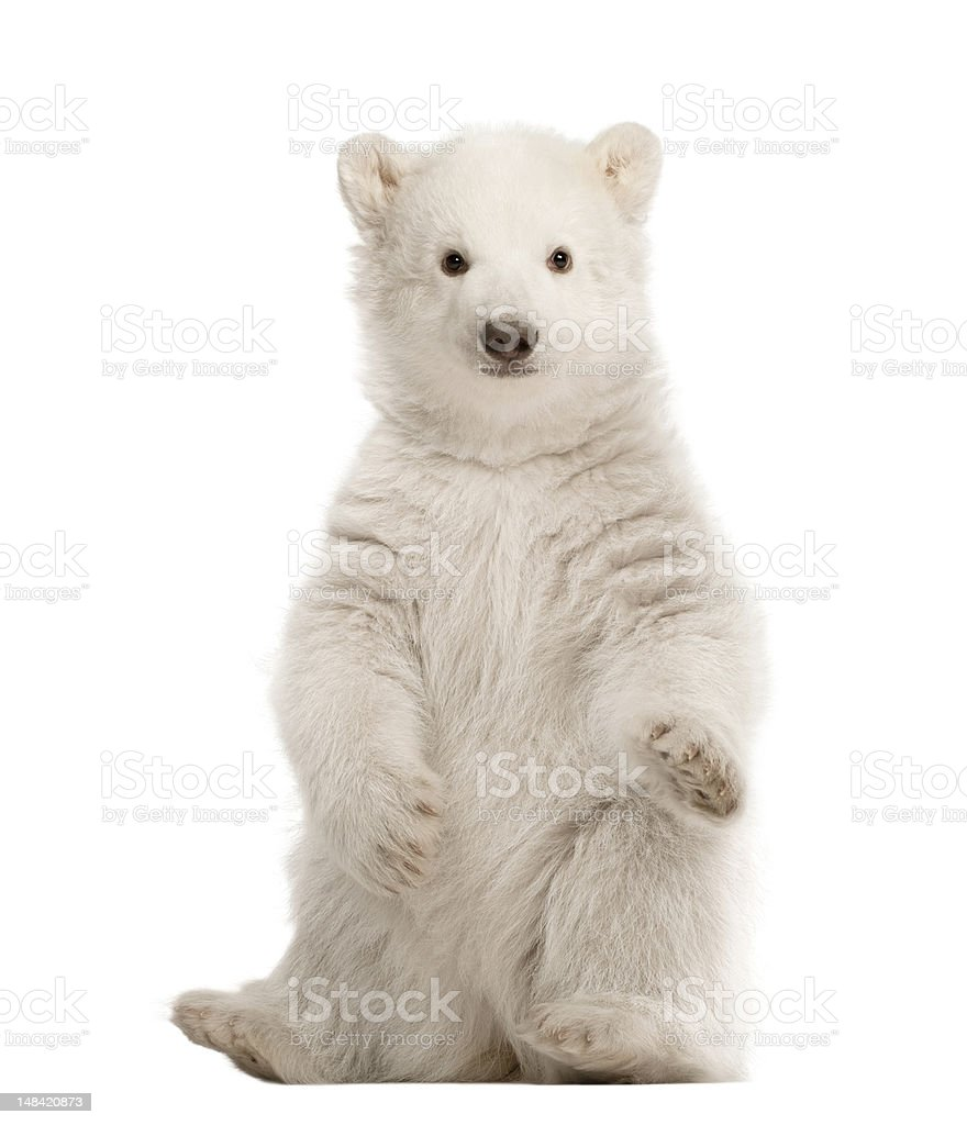 Polar bear cub, Ursus maritimus, 3 months old, sitting stock photo
