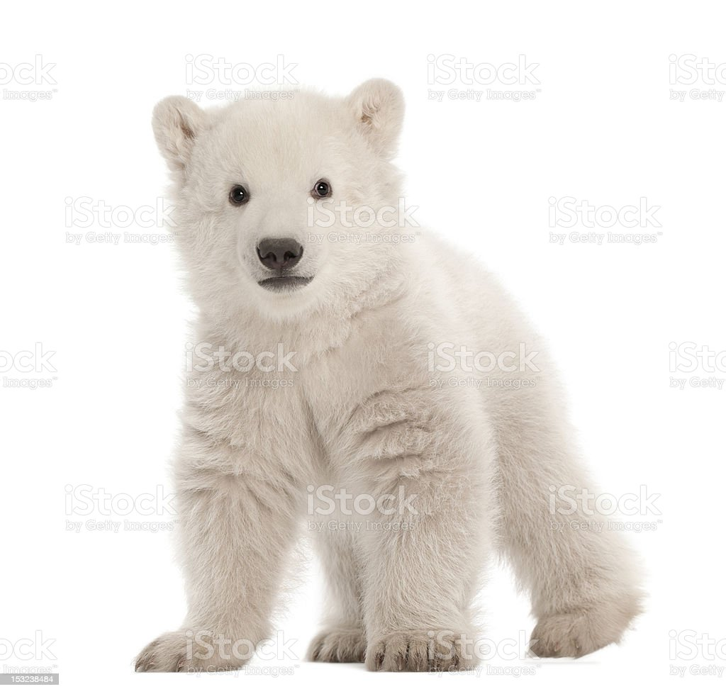 Polar bear cub, Ursus maritimus, 3 months old, standing stock photo