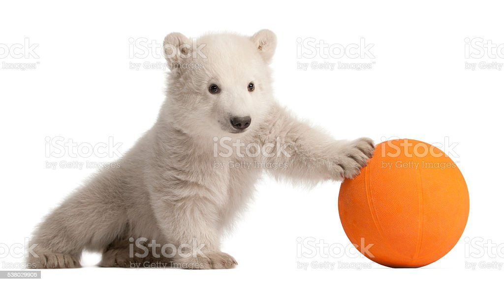 Polar bear cub, Ursus maritimus playing with orange ball stock photo