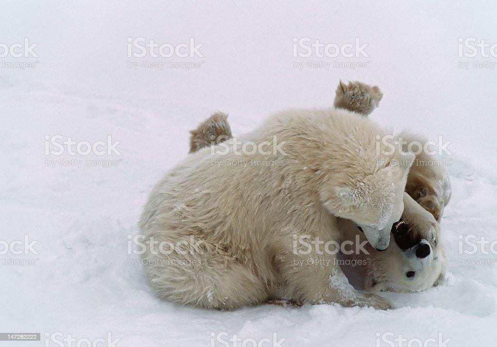 Polar bear cubs in Canadian Arctic royalty-free stock photo