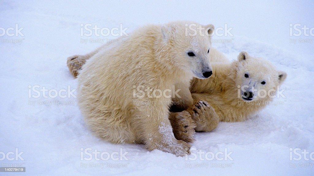 Polar bear cubs playing royalty-free stock photo