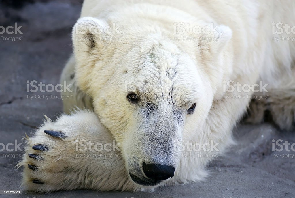 Polar bear / Eisbär stock photo