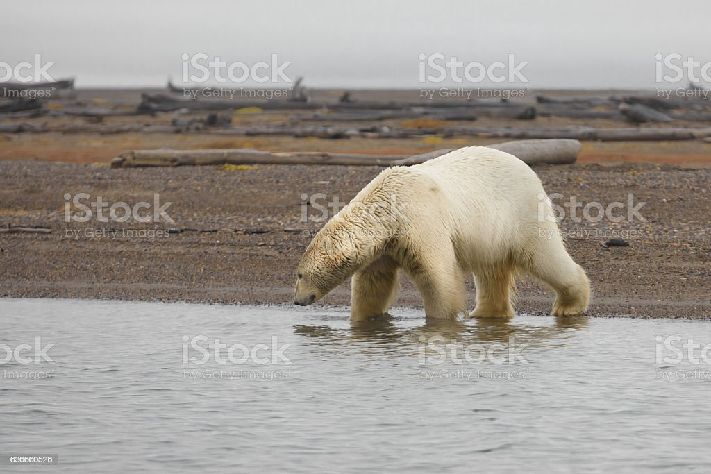 Polar Bear Entering the Arctic Ocean from Land stock photo