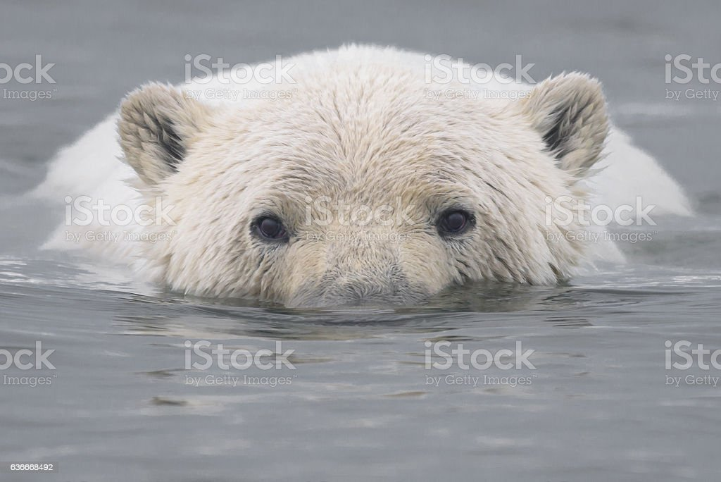 Polar Bear Face Close Up Swimming in Arctic stock photo