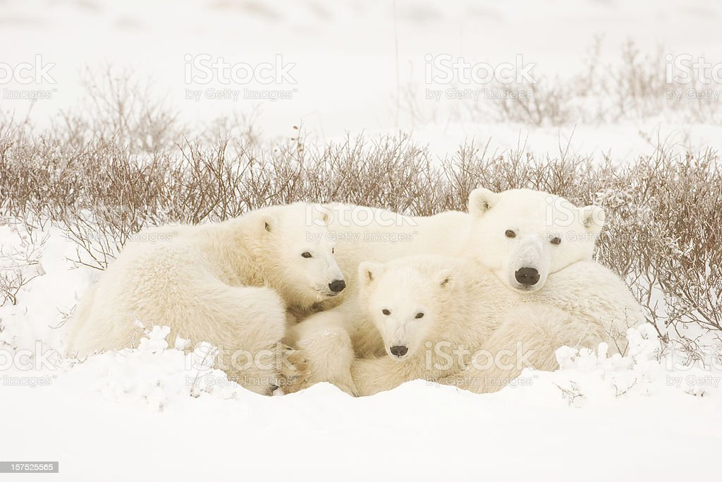 Polar bear family in a landscape covered in snow stock photo