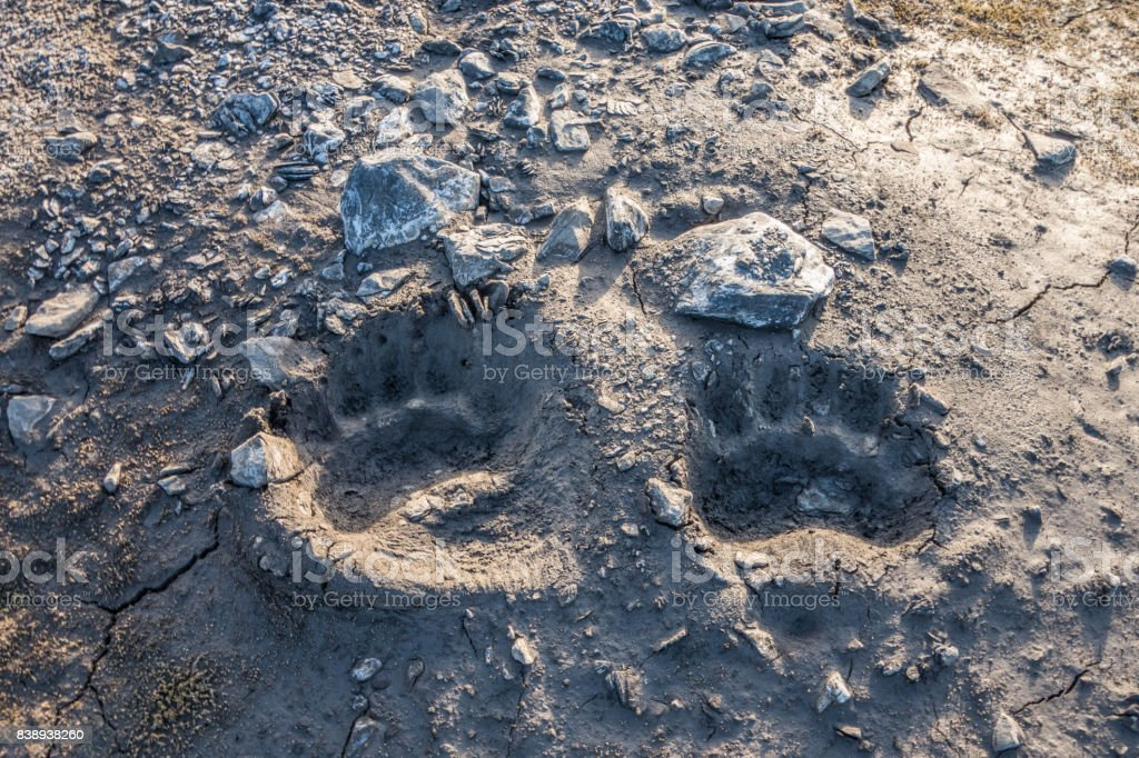 Polar bear foot prints in the mud stock photo