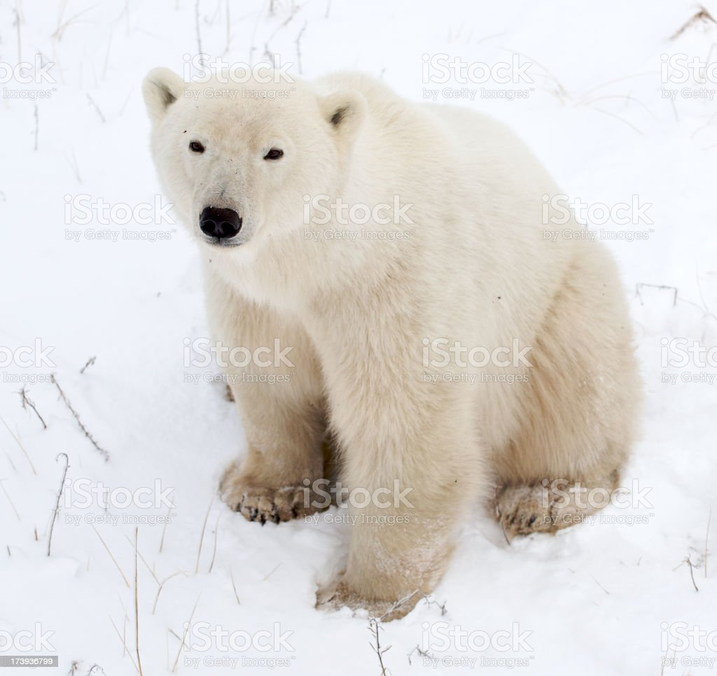 Polar Bear from North Pole Resembling Teddy stock photo