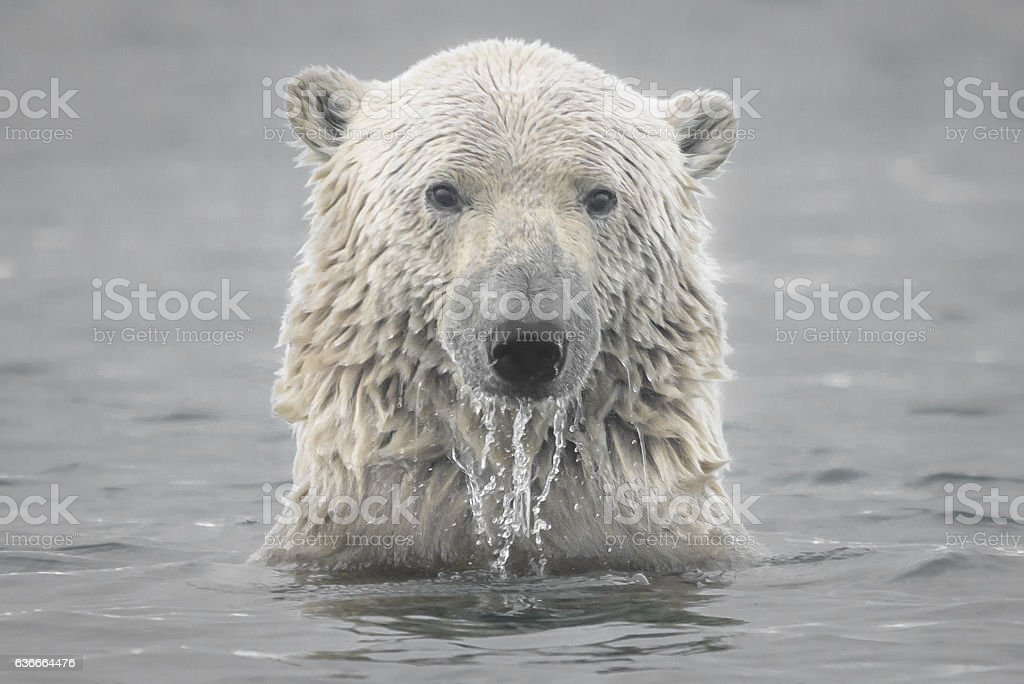 Polar Bear Head Emerging from Arctic Ocean stock photo