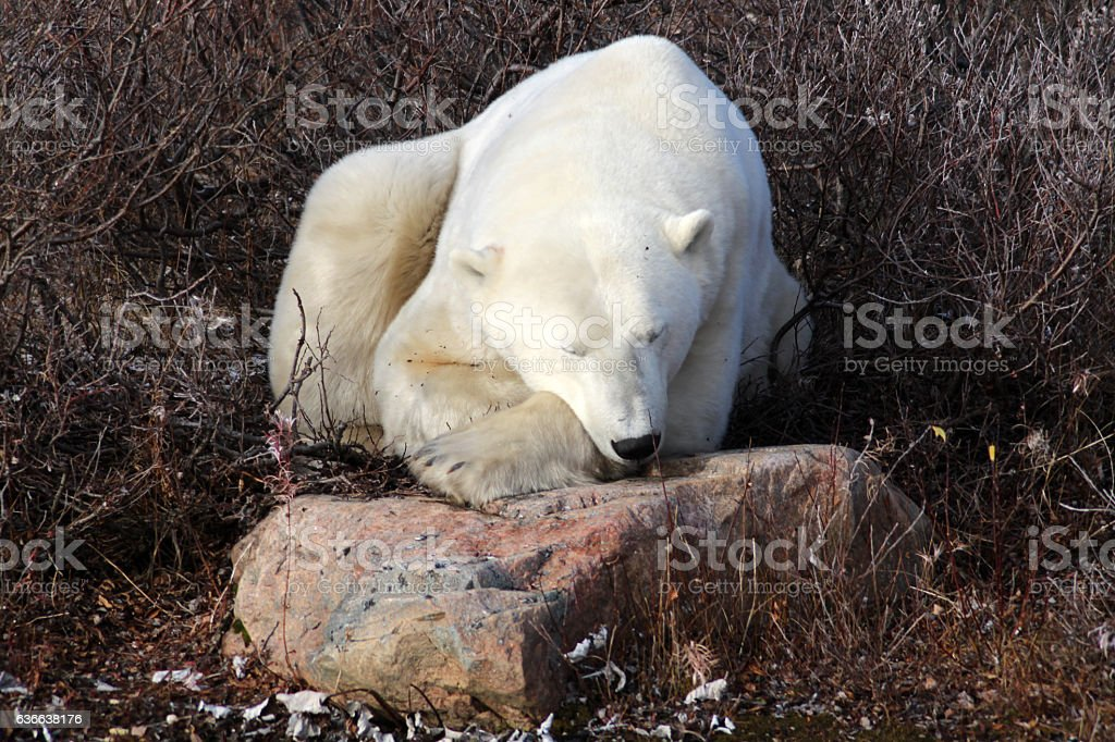 Eisbär-Hudson Bay Kanada stock photo