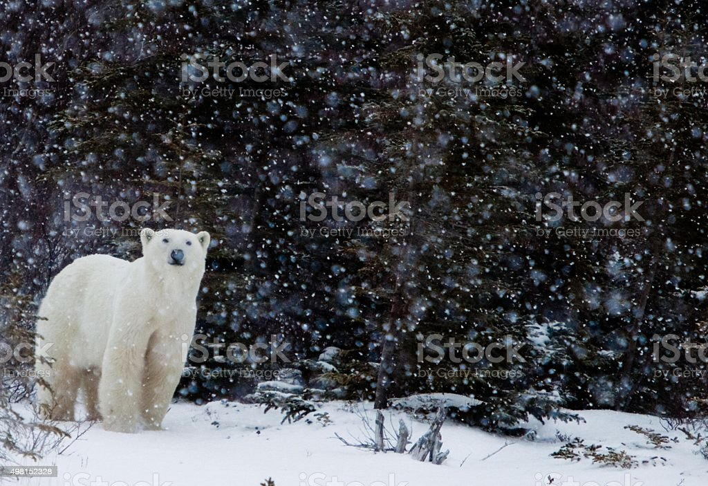 Polar bear in a snow storm stock photo