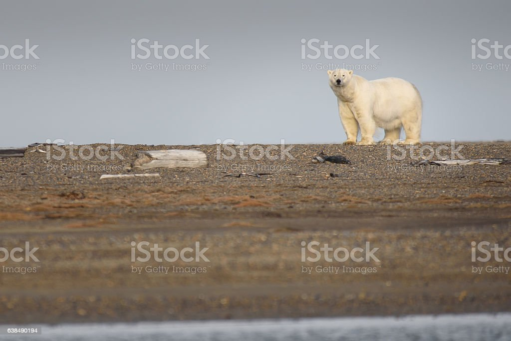 Polar Bear in Autumn on Land in the Arctic stock photo