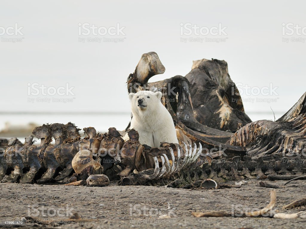 Polar Bear in bone pile stock photo