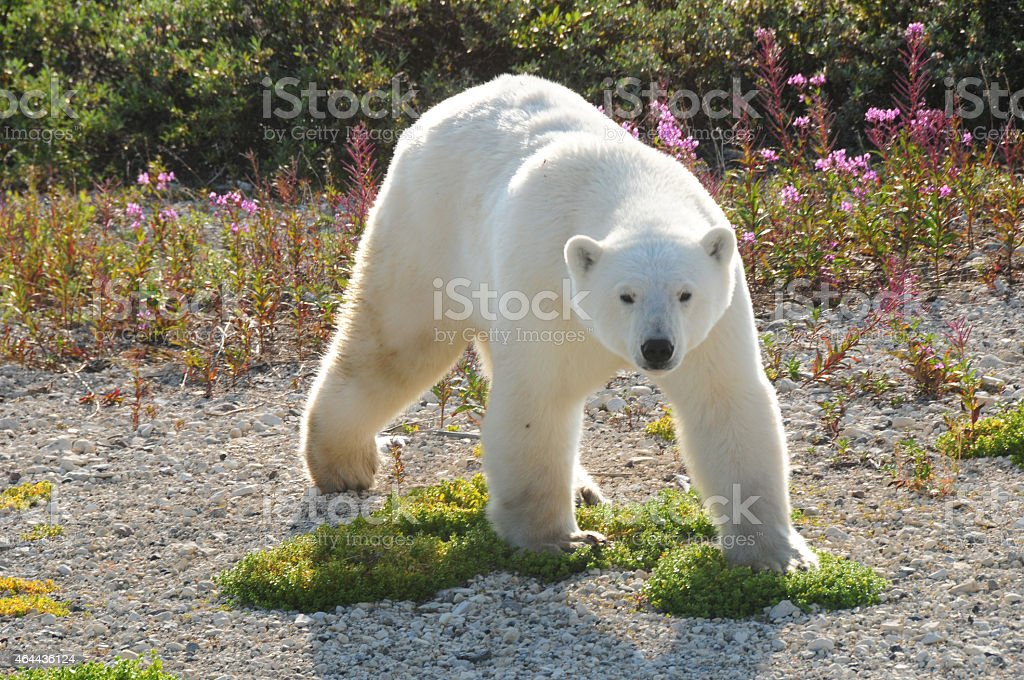 Polar Bear in Churchill, Manitoba stock photo
