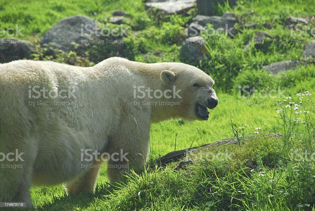 Polar bear in green environment royalty-free stock photo