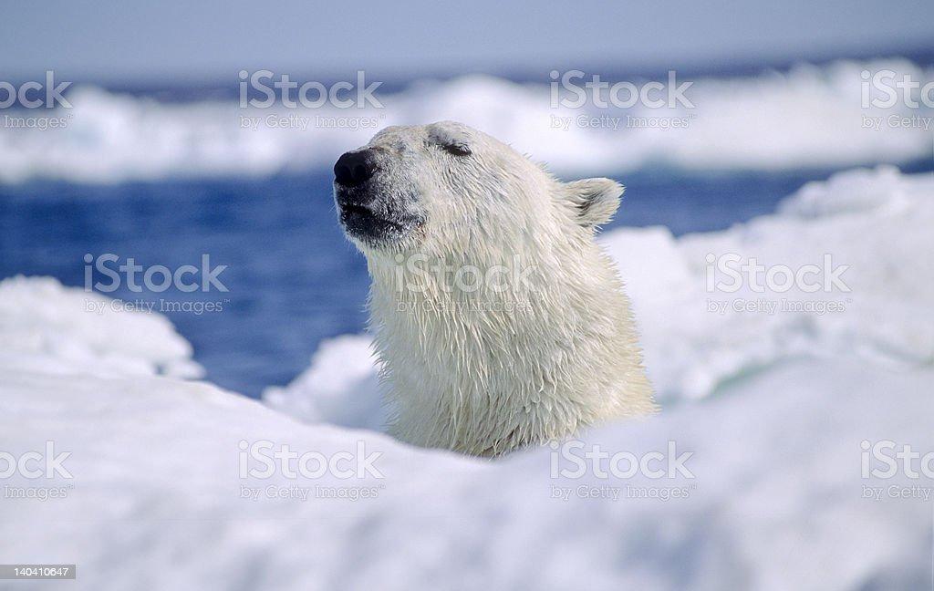 Polar bear in ice floe stock photo