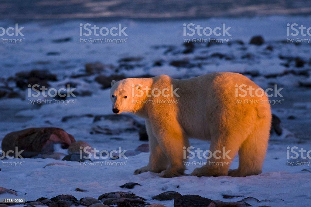 Polar bear in morning light. royalty-free stock photo