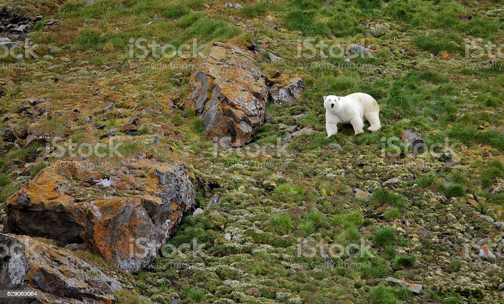 Polar bear in summer Arctic stock photo