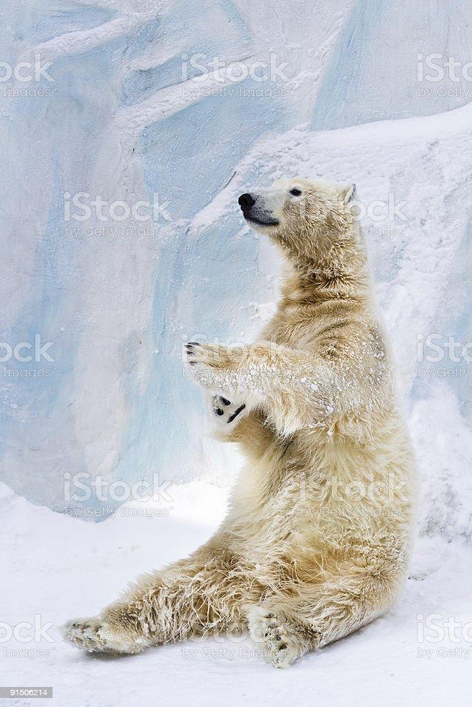 Polar bear in Zoo royalty-free stock photo