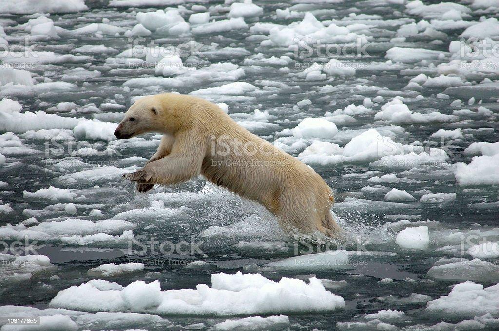 Polar Bear Jumping in Frozen Ocean stock photo
