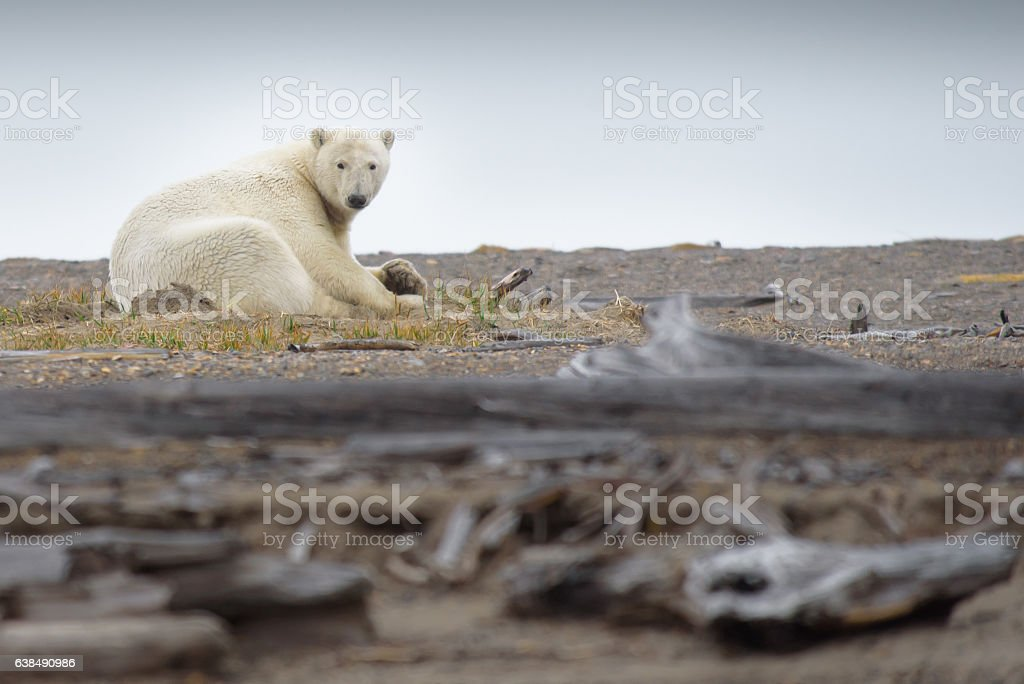 Polar Bear Laying in Autumn Green Grass in the Arctic stock photo