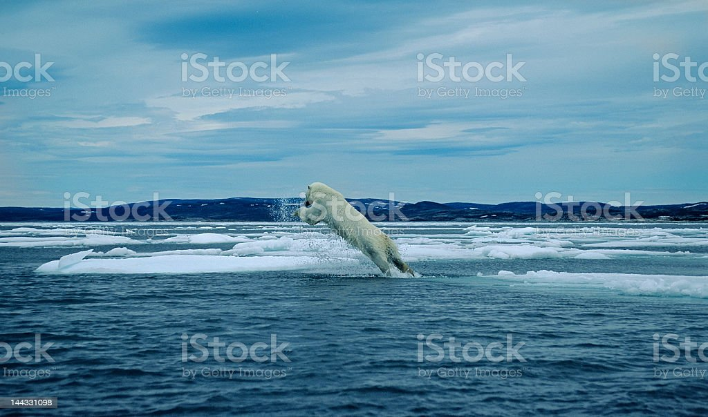 Polar bear leaping between ice floes. stock photo