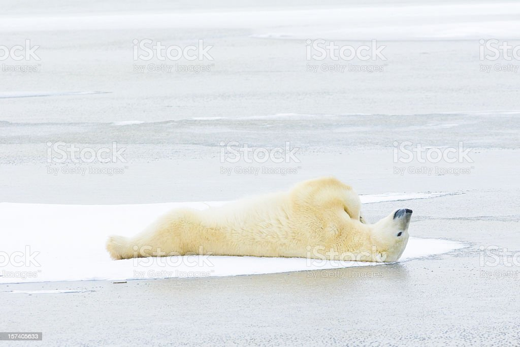 Polar bear lying down on ice. stock photo