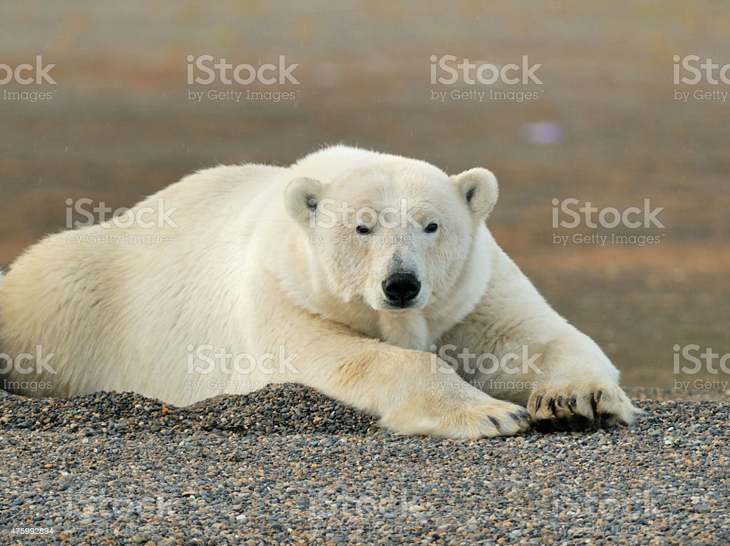 Polar Bear lying in gravel stock photo
