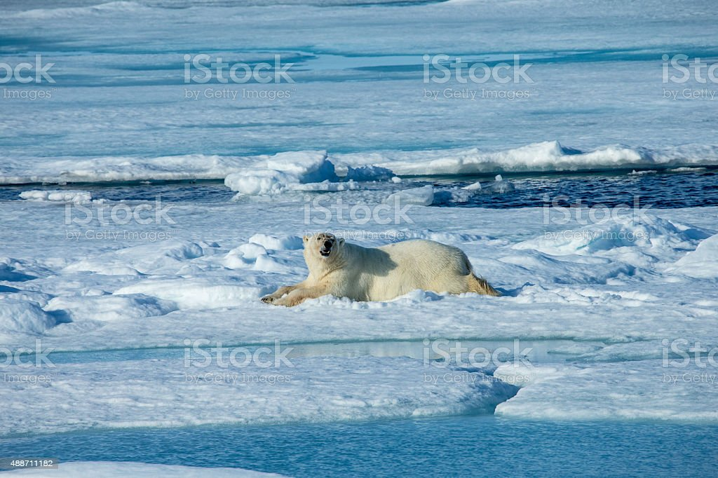 Polar bear lying on ice floe surrounded by water stock photo