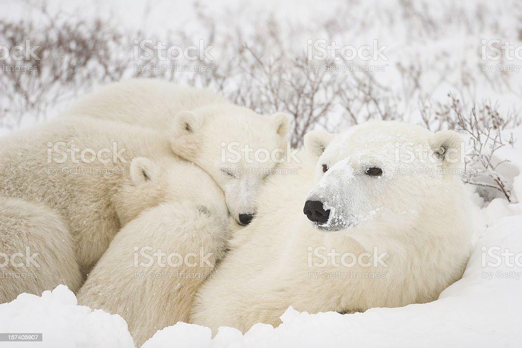 Polar bear mom and cubs. stock photo