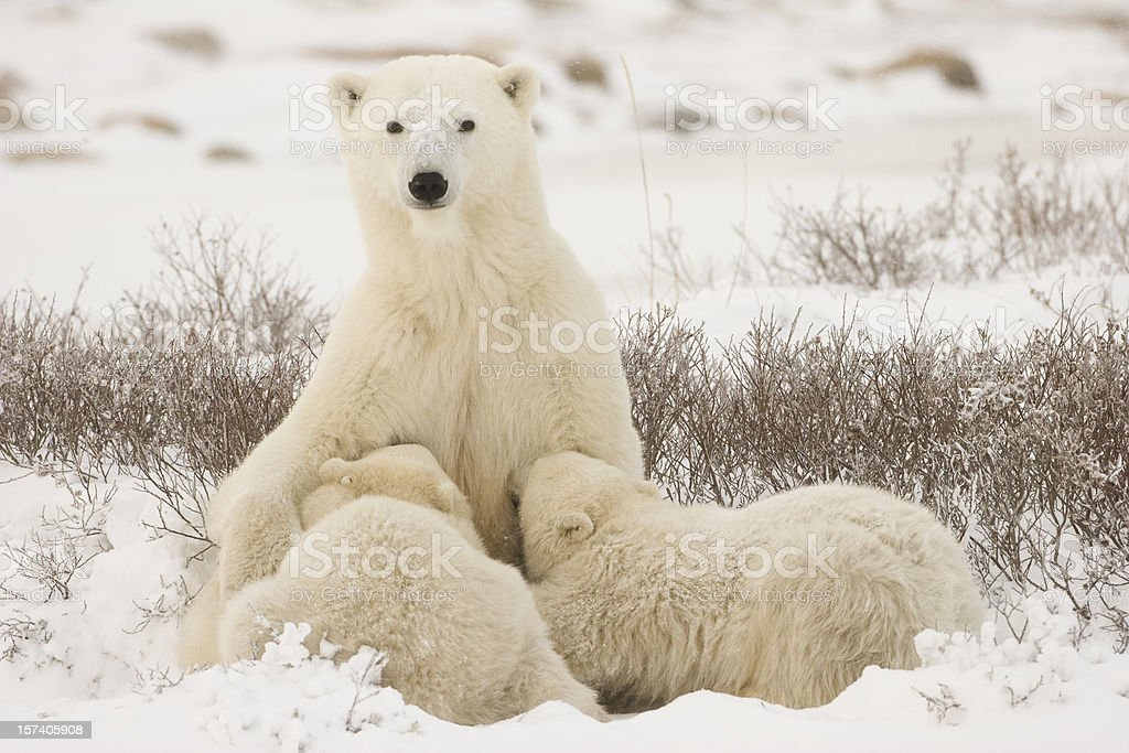 Polar bear mom feeding the cubs. royalty-free stock photo