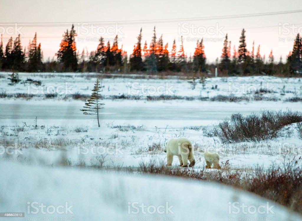 Polar Bear mother with Cub at sunset stock photo