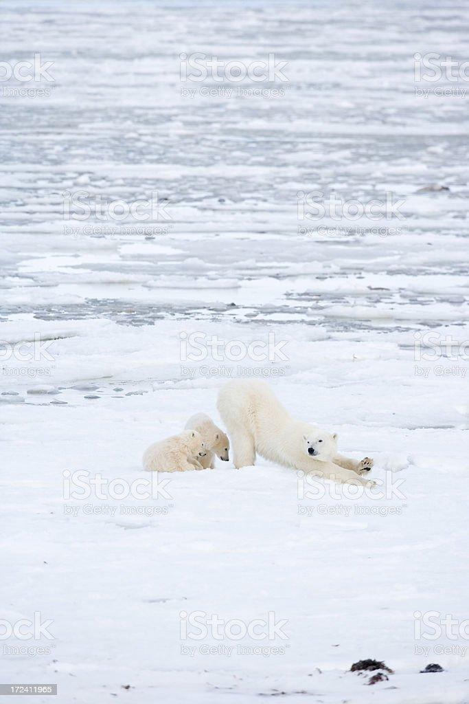 polar bear mother with cubs stock photo