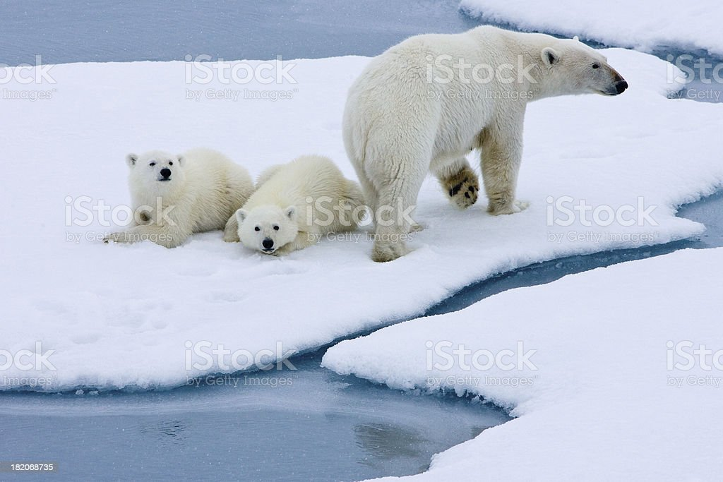 Polar bear mother with two cubs  on pack ice stock photo