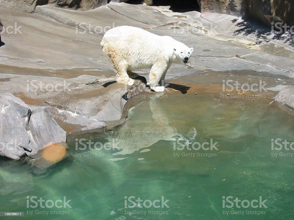 polar bear Nebraska swim royalty-free stock photo