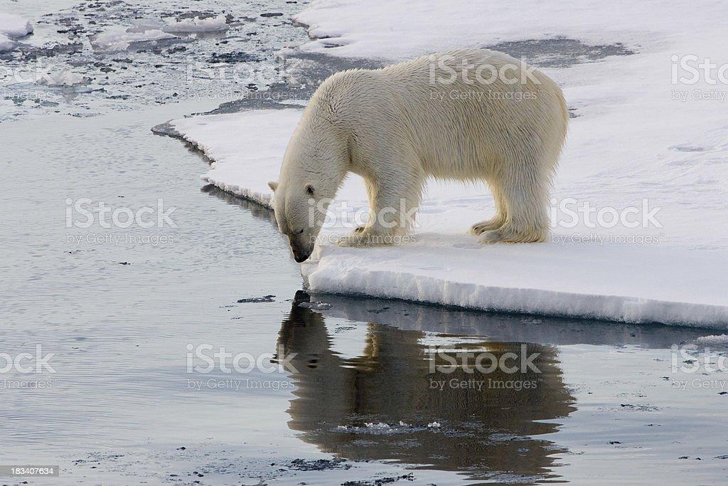 Polar bear on an ice floe stock photo