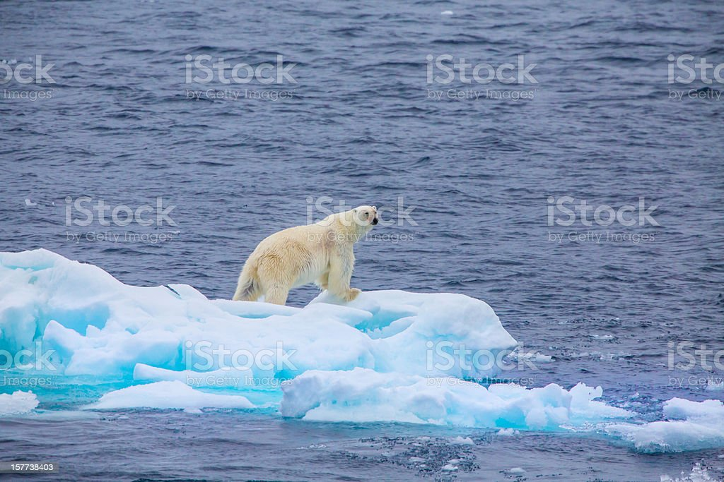 Polar bear  on an ice flow royalty-free stock photo